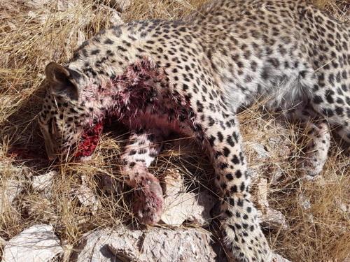 تکذیب خبر شکار یک قلاده پلنگ ایرانی در استان هرمزگان