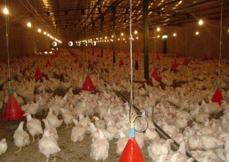 رشد ۷ درصدی تولید مرغ در استان/ هیچگونه مشکلی در تامین گوشت مرغ وجود ندارد